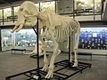 African bush elephant skeleton.jpg