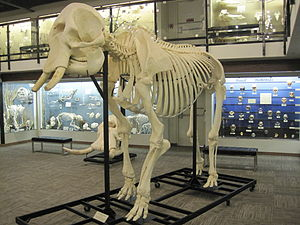African bush elephant - Female African bush elephant skeleton on display at the Museum of Osteology, Oklahoma City, Oklahoma