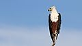 African fish eagle, Haliaeetus vocifer, at Chobe National Park, Botswana (33516611191).jpg