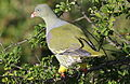 African green pigeon, Treron calvus, Kruger main road near Punda Maria turn-off, Kruger National Park, South Africa (26212566585).jpg