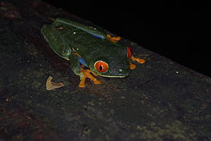Agalychnis callidryas - A. callidryas at night
