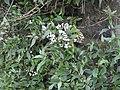 Ageratina riparia-2-badulla road-nuwara eliya-Sri Lanka.jpg