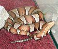 Agkistrodon contortrix pictigaster.jpg