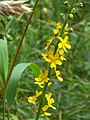 Agrimonia eupatoria (36504220282).jpg