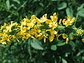 Agrimonia procera Kiev2.jpg