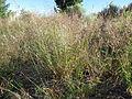 Agrostis stolonifera (7641700944).jpg