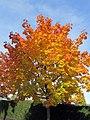 Ahornbaum mit Herbstfärbung - panoramio.jpg