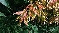 Ailanthus altissima, Santa Coloma de Farners.jpg