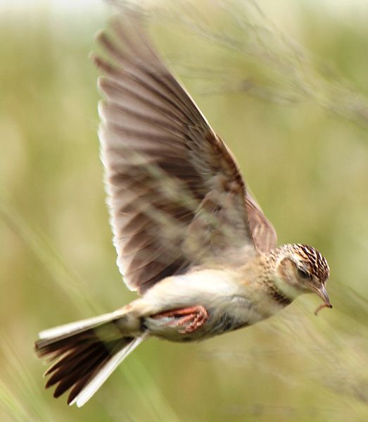 File:Alauda arvensis in flight.JPG