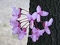 Albero di Giuda - fiori.JPG