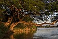 Albizia saman trunk leaning over the water on a Mekong bank in sunshine at golden hour (2).jpg