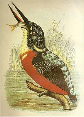 Herkules-Eisvogel (Alcedo hercules)