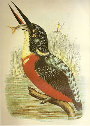 Blyth's kingfisher - Blyth's kingfisher feeding, painted in 1897