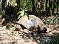 Aldabra Giant Tortoise, Ile aux Aigrettes Nature Reserve, Mauritius.JPG
