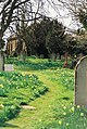 Alderholt, daffodils in St. James's churchyard - geograph.org.uk - 500357.jpg