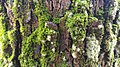Algae grown on tree bark 01.jpg