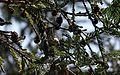 Allen's Hummingbird - Flickr - GregTheBusker.jpg