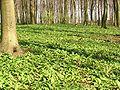 AlliumUrsinumAspekt.jpg