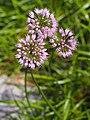 Allium lusitanicum syn. Allium senescens subsp. montanum Czosnek skalny 2018-08-12 03.jpg