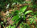 Allium ursinum 002.JPG