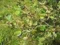 Alnus incana agelastica alni 2 beentree.jpg