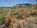 Aloe cryptopoda 2 (4365029859).jpg