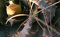 Aloe peglerae04.jpg
