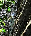 Aloe sp. long grass 4 (10506841985).jpg