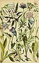Alpenflora; die verbreitetsten Alpenpflanzen von Bayern, Österreich und der Schweiz (1922) (18106018262).jpg