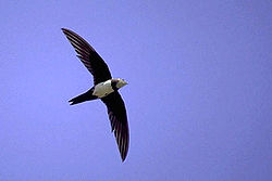 Alpine Swift.jpg