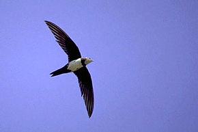 290px-Alpine_Swift.jpg