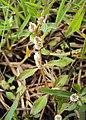 Alternanthera paronychoides 01.JPG
