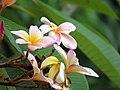 Amancayo - Frangipán - Azuceno(Plumeria rubra fo. tricolor) - Flickr - Alejandro Bayer (1).jpg