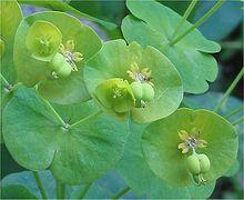 plante euphorbe