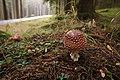 Amanita muscaria (30062654532).jpg