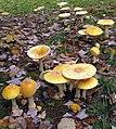 Amanita muscaria var. guessowii Veselý 679981.jpg