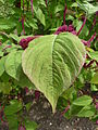 Amaranthus caudatus 'Love-Lies-Bleeding' (Amaranthaceae) leaves.JPG