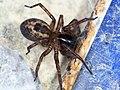 Amaurobius similis 63063668.jpg
