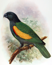 Illustration of a slate, green, and yellow parrot on a branch