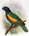 Amazona violacea.png