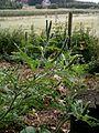 Ambrosia artemisiifolia inflorescence01.jpg