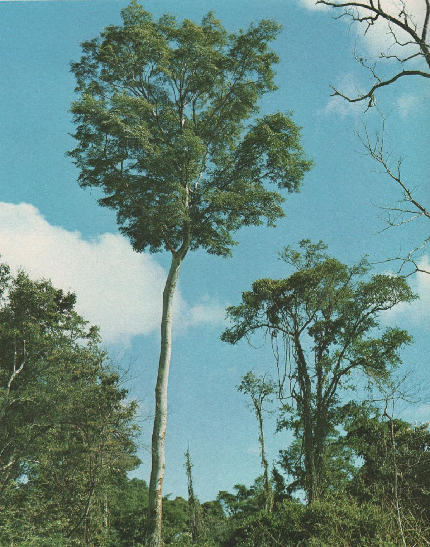 Amburana cearensis wikipedia la enciclopedia libre for Arboles de jardin fotos