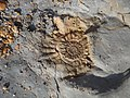 Ammonoid Fossil of Jurassic Coast in England.jpg