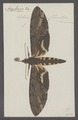 Amphonyx - Print - Iconographia Zoologica - Special Collections University of Amsterdam - UBAINV0274 062 03 0003.tif