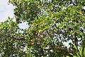 Anacardium occidentale tree and fruits Bunaken.JPG