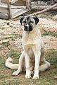 Anatolian Shepherd Dog - Kangal köpeği 01.jpg