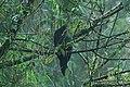 Andean Guan (Penelope montagnii) 2015-06-16 (1) (39432035865).jpg