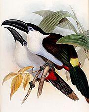 Andigena nigrirostris-Gould