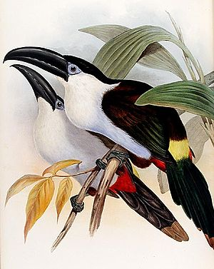 Colibri del Sol Bird Reserve - The black-billed mountain toucan is found in the Reserve, though the subspecies there has a partially chestnut bill