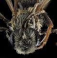 Andrena confederata, M, Face, Calvert Co 2013-08-01-15.01.16 ZS PMax (10329072906).jpg